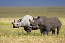 Side profile of two Black rhinoceroses standing in a field by Panoramic Images