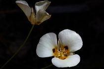 Mariposa Lilies: Motherly Love by Jennifer Nelson