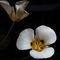 Mariposa-lilies