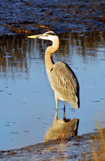 Great Blue Heron at Dusk by Eye in Hand Gallery