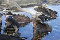 Group of Marine Iguana (Amblyrhynchus cristatus) bathing in the water, Ecuador, Galapagos Archipelago, Isabela Island.