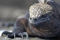 Marine-iguana-galapagos-rm-glp-fna2209