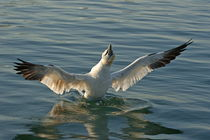 Northen gannet (morus bassanus) bathing in sea at sunrise, France.