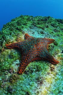 Panamic Cushion Star (Pentaceraster cumingi) on rock, underwater view, Ecuador, Galapagos Archipelago, Espanola Island by Sami Sarkis Photography