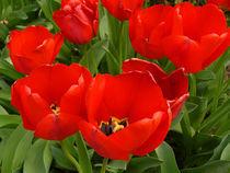 Tulips 1 von Deborah Willard