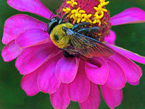 Bumblebee on Pink Zinnia Flower von Deborah Willard