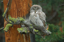 Great Grey Owl von Barbara Magnuson & Larry Kimball