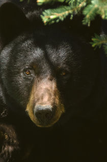 Black Bear von Barbara Magnuson & Larry Kimball