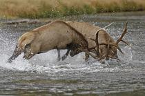Battles of the Elk