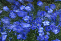 Flax Flowers by Barbara Magnuson & Larry Kimball