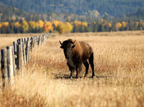 Portrait of the Bison by Erik Rasmussen