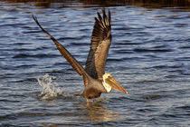Brown Pelican (Pelecanus occidentalis) by Eye in Hand Gallery