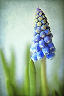Muscari by Uta Hansen