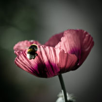 Lensbaby Poppy Pollination  by Jason swain