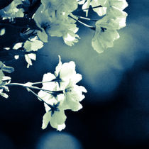 Blossom von Jason swain