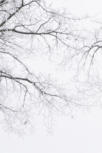 Frosty Branches In The Morning Fog. by Tom Hanslien