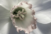 Daffodil Semi von Janice Sullivan