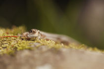 Common Lizard Head-on View by Richard Winn