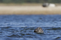 Grey Seal Curiosity by Richard Winn
