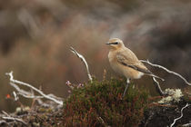Wheatear-on-heather