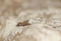 Young Common Lizard in Rock Crevasse by Richard Winn