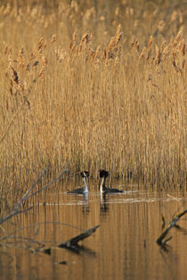Courting-great-crested-grebes-evening-light