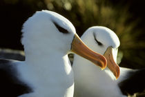 Black-browed Albatrosses on Nests by Wolfgang Kaehler