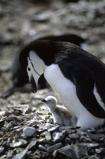 Chinstrap Penguin with Chick by Wolfgang Kaehler