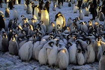 Emperor Penguin Chick Huddle by Wolfgang Kaehler