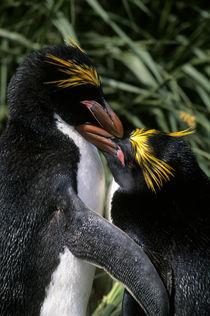 Macaroni Penguin Couple in Tussock Grass by Wolfgang Kaehler