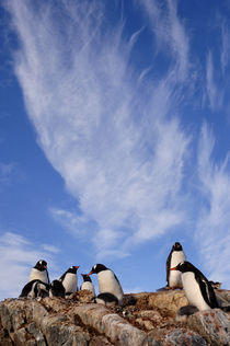 Gentoo Penguin Colony with Clouds by Wolfgang Kaehler