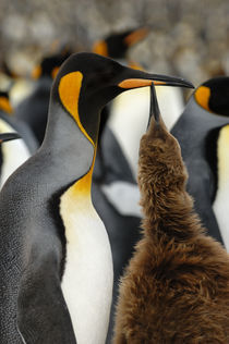 King Penguin with Chick von Wolfgang Kaehler