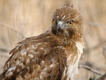 Red Tailed Hawk von Ben Bolden