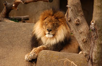 Lion at Rest von Joseph Ullrich