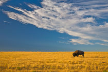 American Bison on the High Plains von Lee Rentz