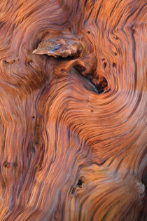 Rhythms in Bristlecone Pine Wood von Lee Rentz