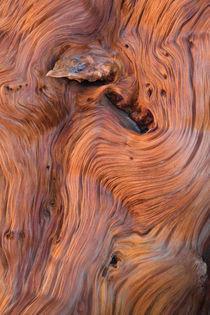 Bristlecone-pine-forest-112