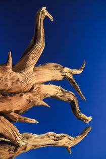 Bristlecone Pine and Clear Blue Sky by Lee Rentz