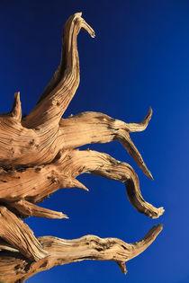 Bristlecone Pine and Clear Blue Sky von Lee Rentz