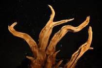Bristlecone Pine and the Cosmos by Lee Rentz