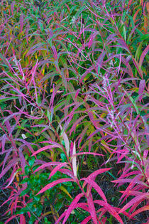 Fireweed in Autumn by Lee Rentz