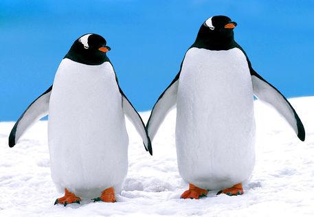 Cartoon penguins holding hands - photo#3