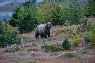 Mount-assiniboine-grizzly-bear-31