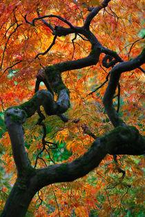 Japanese Maple in Autumn von Lee Rentz