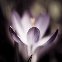 crocus by Sophie Thouvenin