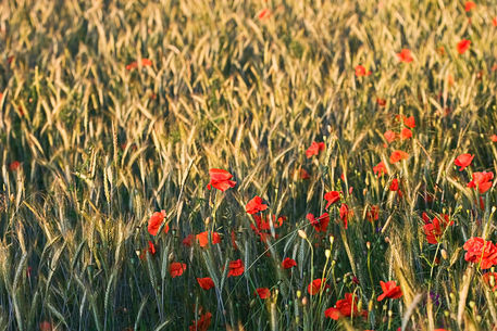 Poppy-in-cornfield