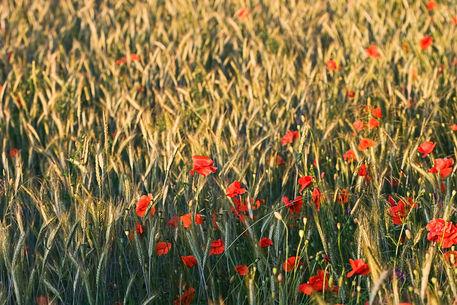 Poppy-in-cornfield