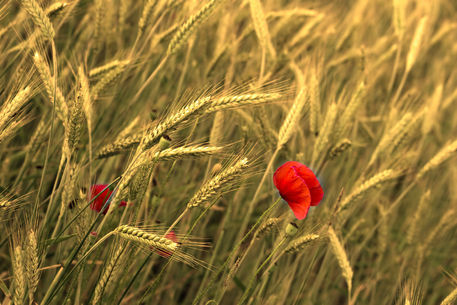 Red-popy-in-cornfield