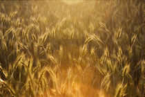 yellow sunny cornfield von Darius Norvilas