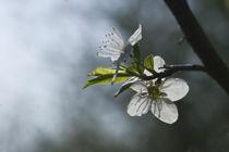blooming apple-tree von Darius Norvilas
